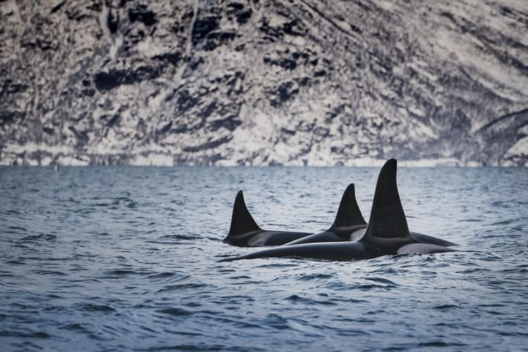 orcas en alaska