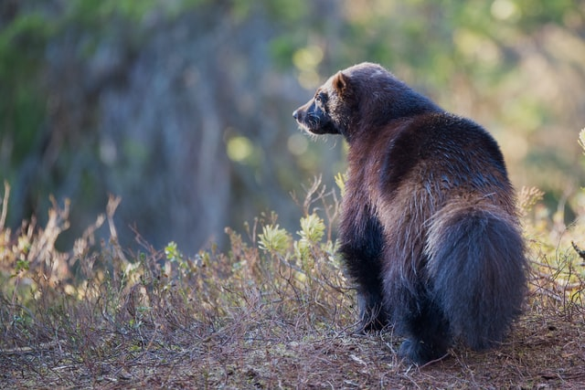 Wolverine in Wyoming