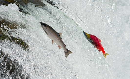 salmon run Where to see wildlife in the US