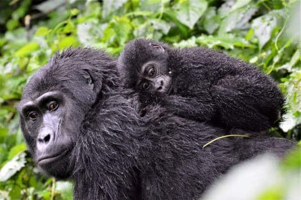 los 10 animales más amenazados gorila