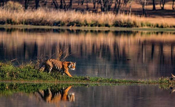 tigre de bengala los 10 animales más amenazados