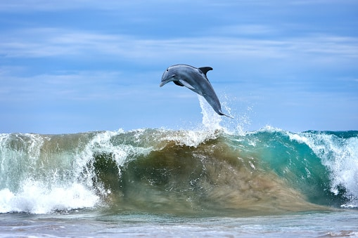 Where to see wildlife in the US:dolphins
