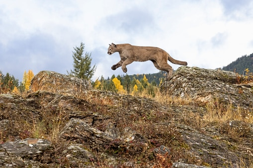 Where to see wildlife in the US:puma