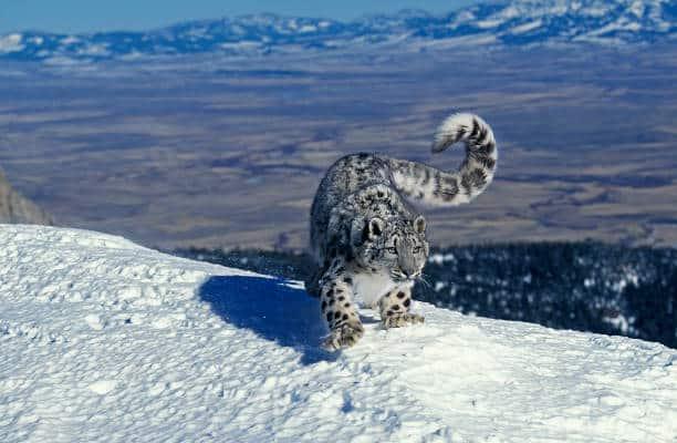 los 10 animales más amenazados leopardo de las nieves