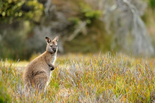 Where to see wildlife in the US:wallaby
