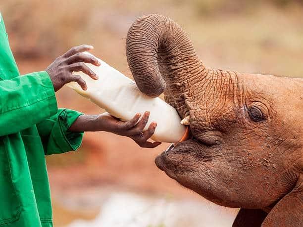cría de elefante los 10 animales más amenazados