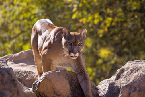 Where to see wildlife in the US:cougar