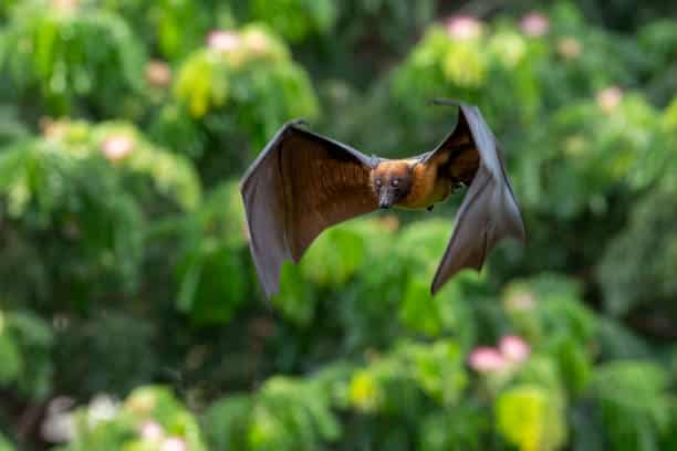 Bat flying in the natural forest , Lyle's flying fox wildlife in the maldives