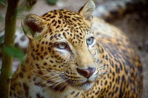 wildlife in Vietnam the leopard