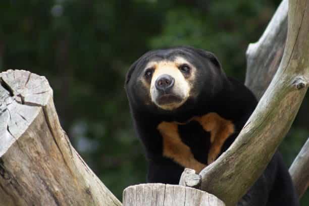 sun bears wildlife in Vietnam