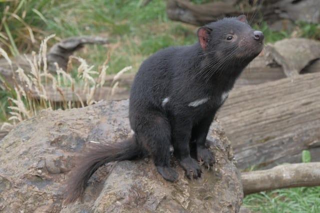 Diablo de Tasmania