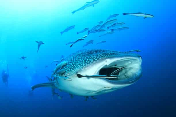 animals in the philippines: whaleshark