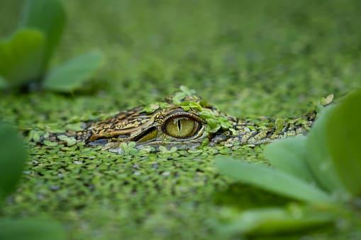 animals in the philippines: crocodiles