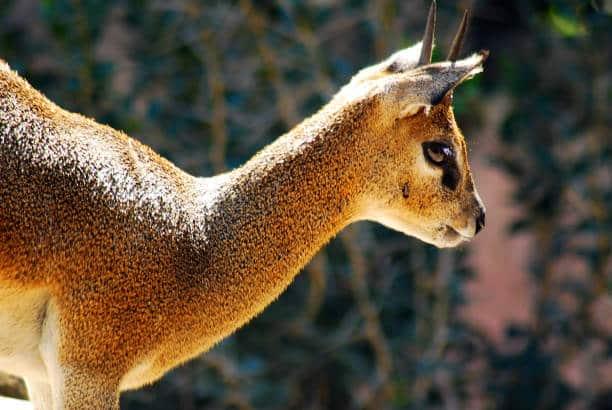 top 10 de los animales más bonitos klipspringer