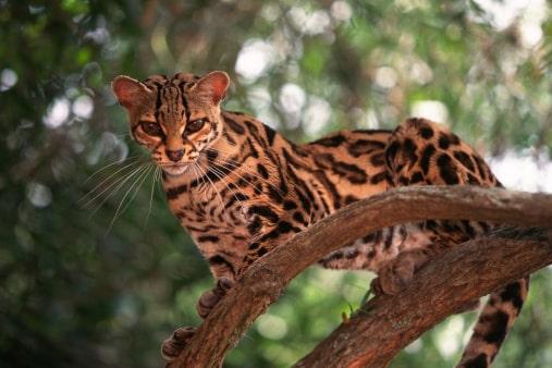 top 10 de los animales más bonitos Margay