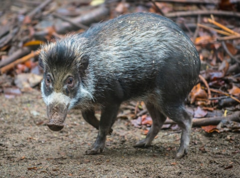 animals in the philippines: warty pig