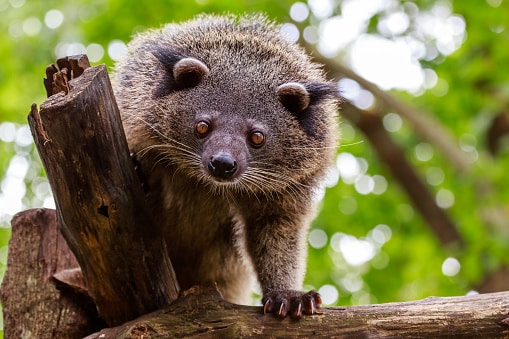 animals in the philippines: bearcat