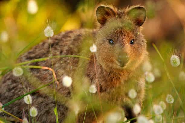 top 10 animales más bonitos quokka