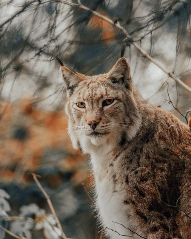 Sibrian Lynx