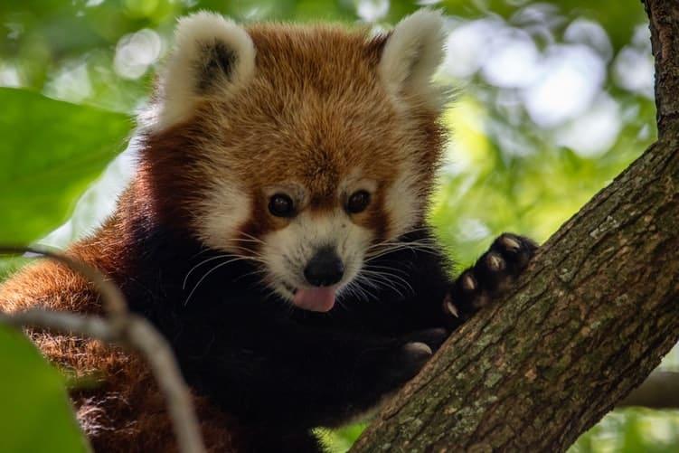 top 10 de los animales más bonitos panda rojo