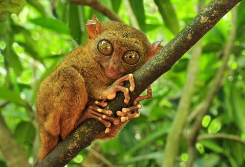 Vida silvestre en Indonesia: Tarsier