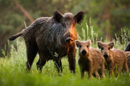 wildschwein: wildtiere in italien