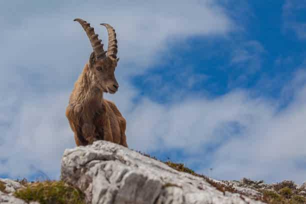 steinbock: wildtiere in italien
