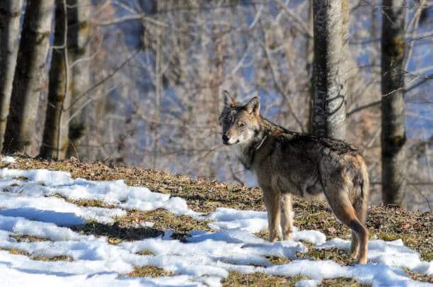 Wildtiere in Italien: Wölfe