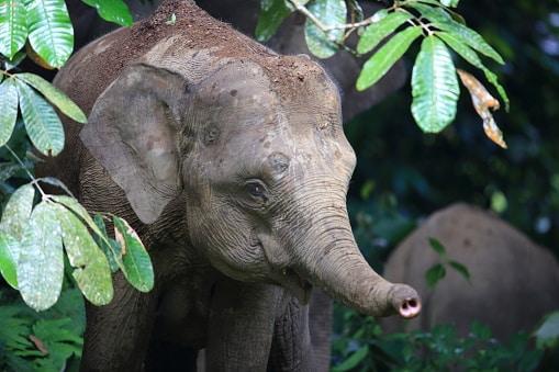 La fauna en Indonesia elefante