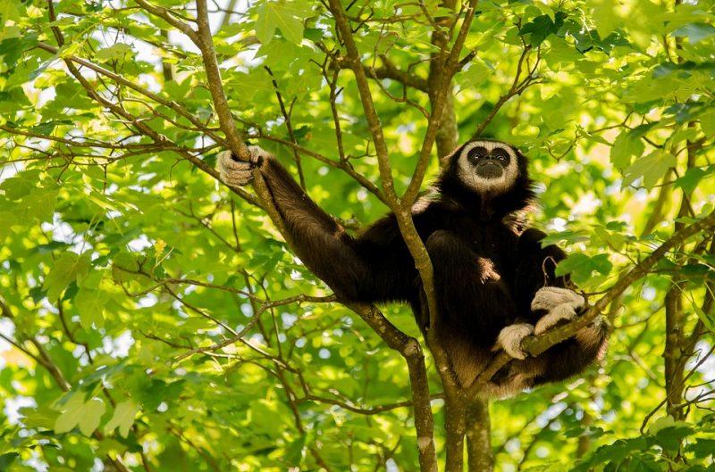 wildlife in asia: gibbon